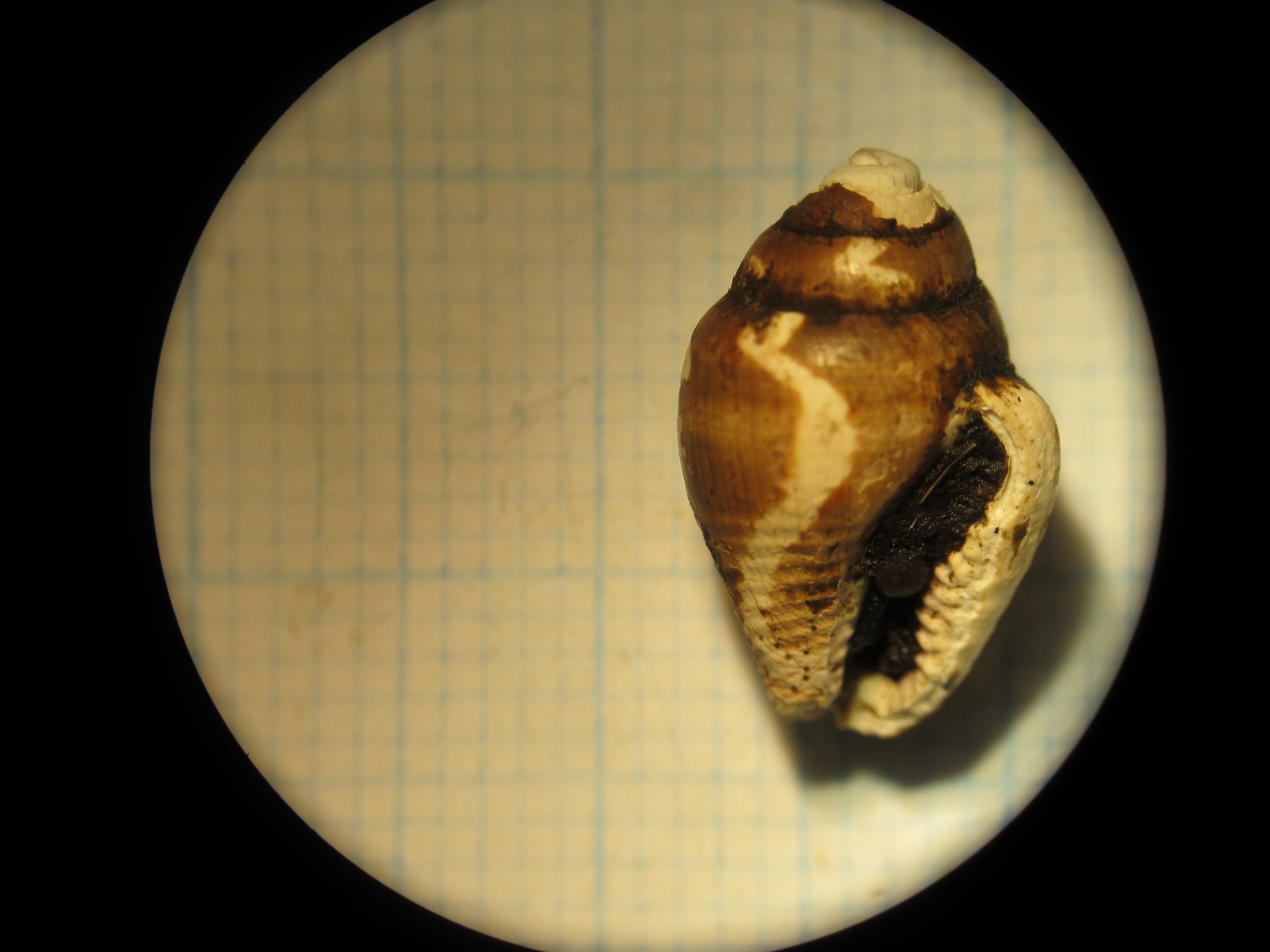 A rustic dove shell (Columbella rustica)